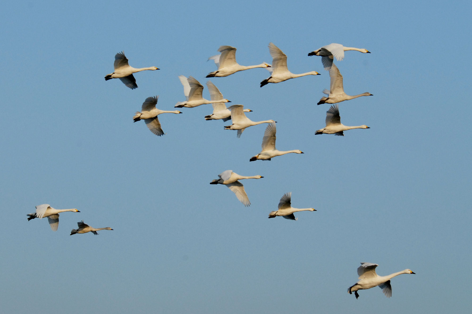 Flock of Bewick's Swans flying at Slimbridge