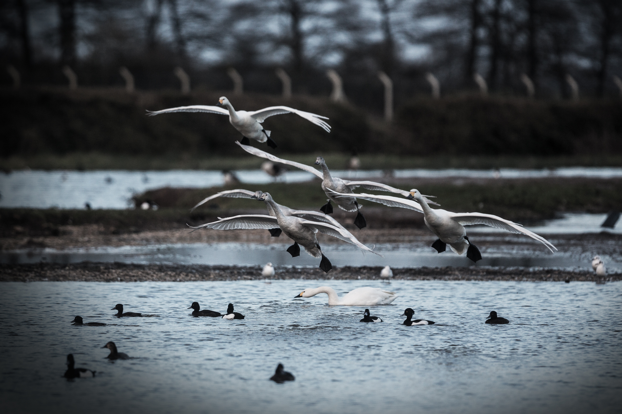 Swans flying over water on the Tack Piece at Slimbridge