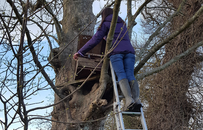 Emily checking a Little Owl nestbox.