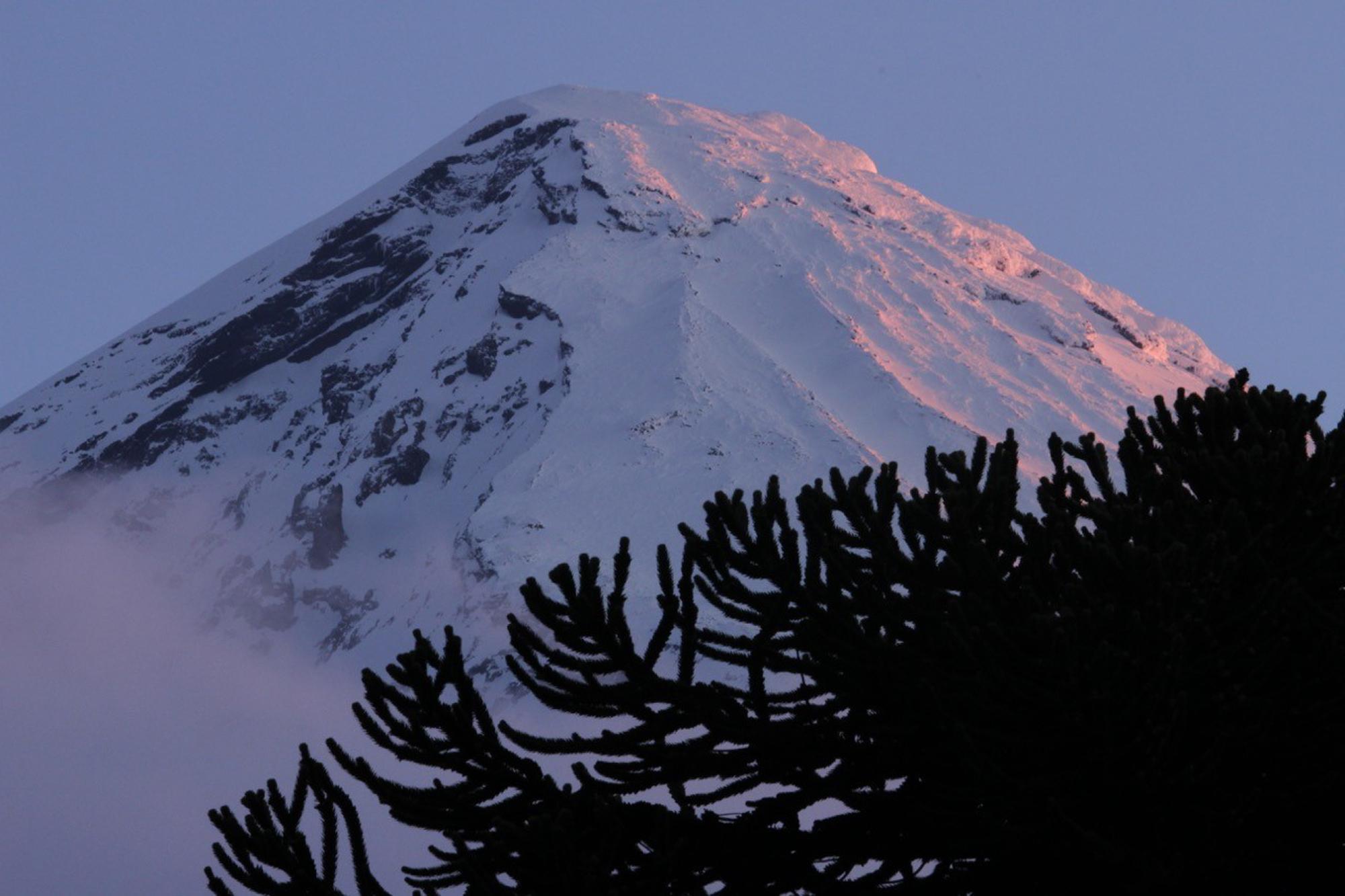 Canopy of an araucaria tree (Araucaria araucana) silhouetted against the sunset-coloured peak of Lanin Volcano.