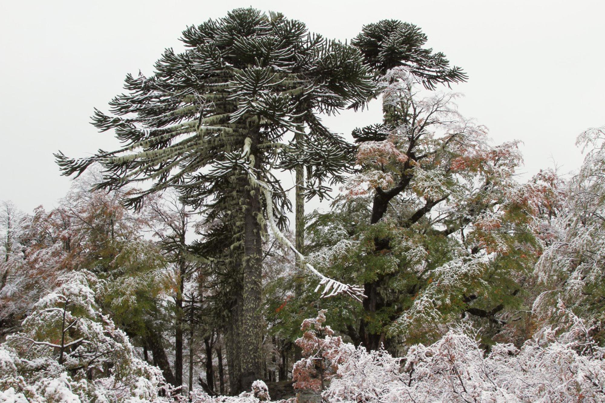 Fresh snow on araucaria trees (Araucaria araucana)