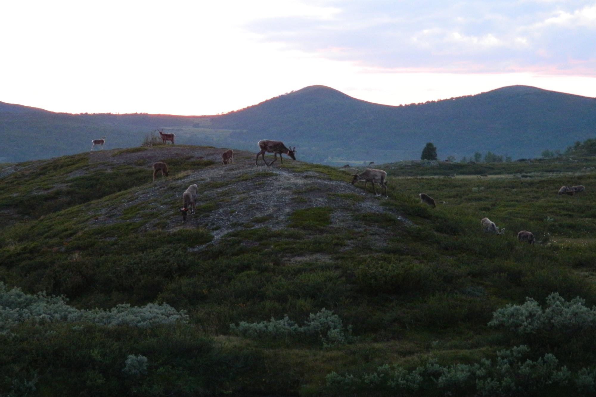Reindeer graze in the cool of the night