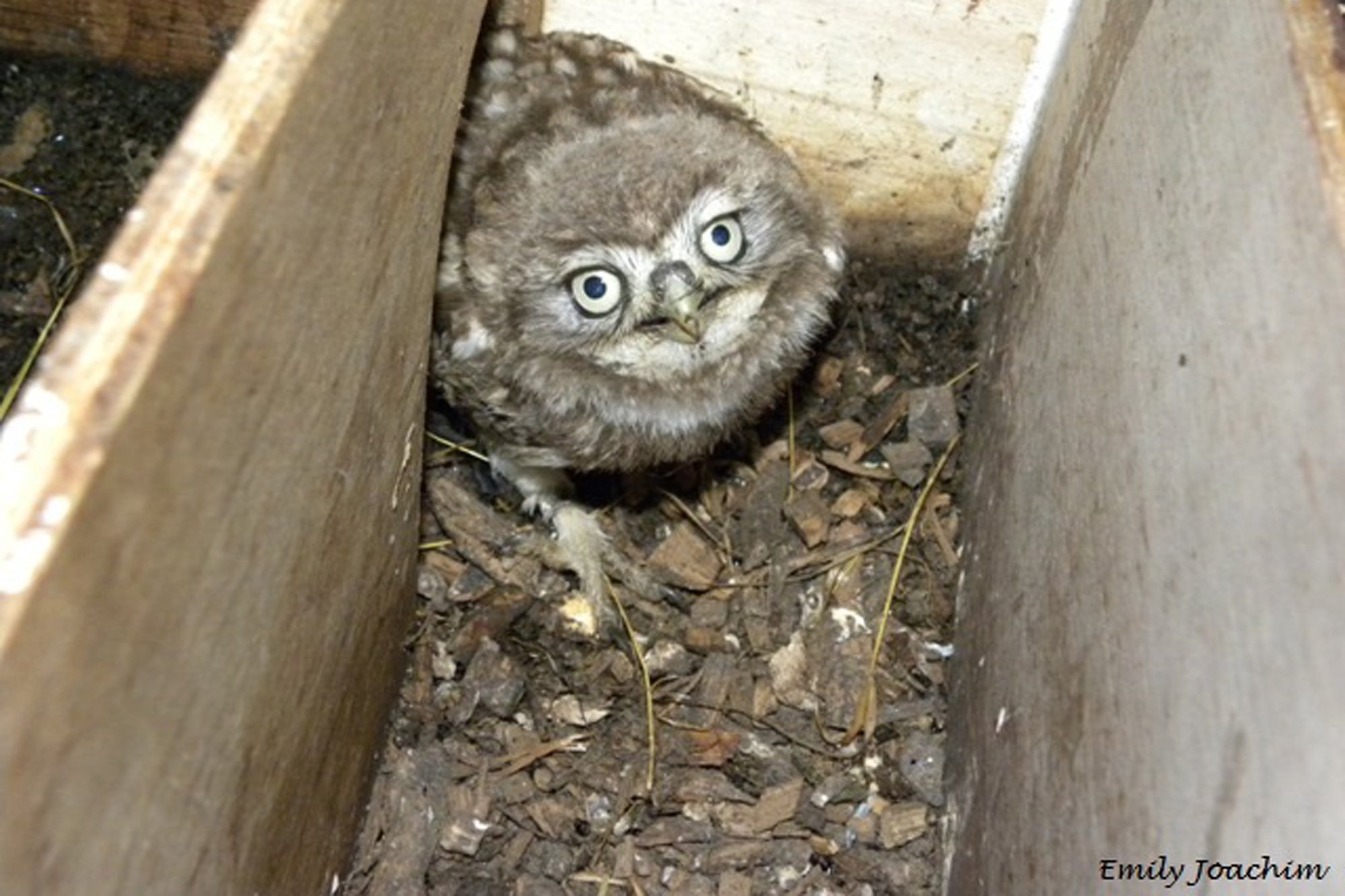 Juvenile Little Owl in a nest box by Emily Joachim