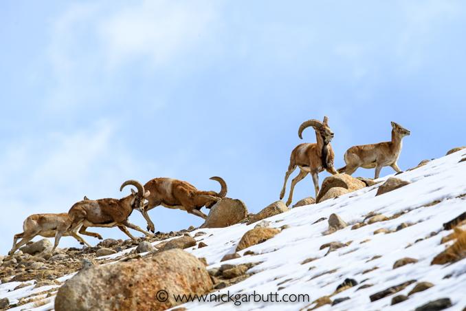 Urials in Zanskar range, Himalayas