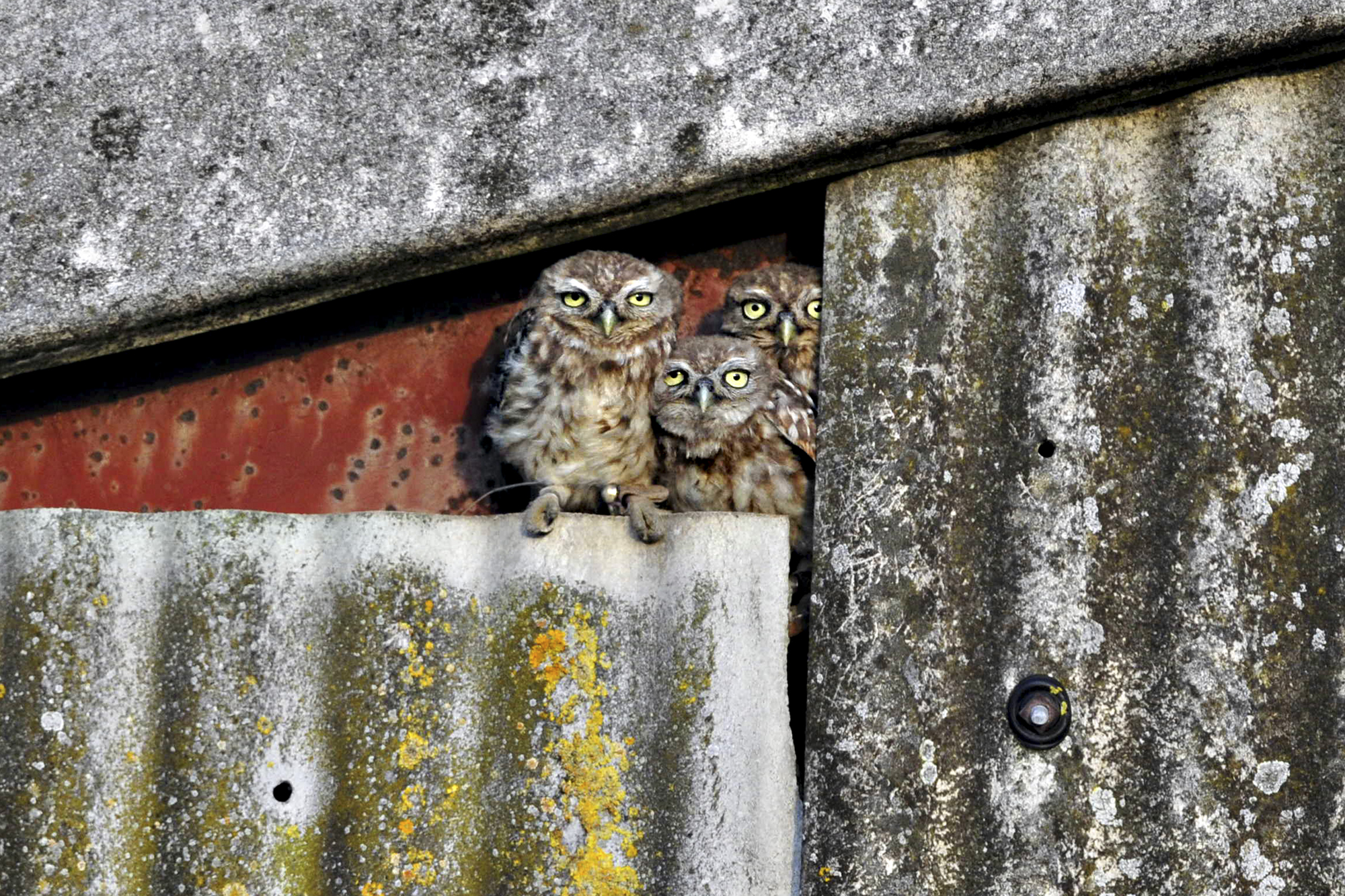Award-winning photographer Andy Rouse has been working with Emily Joáchim on Little Owls for many years now. © Andy Rouse.