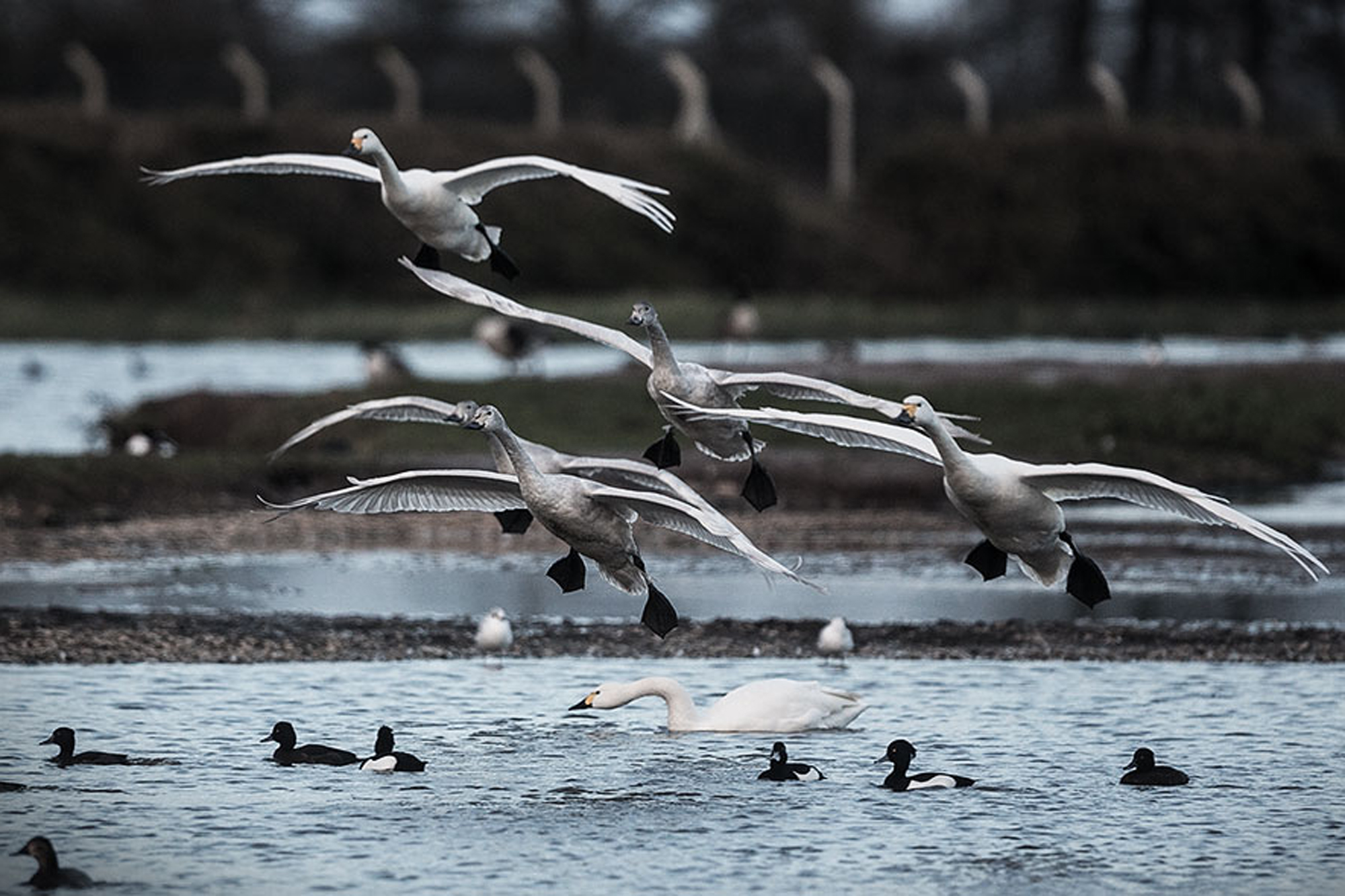 Bewick's swans taking off over water.