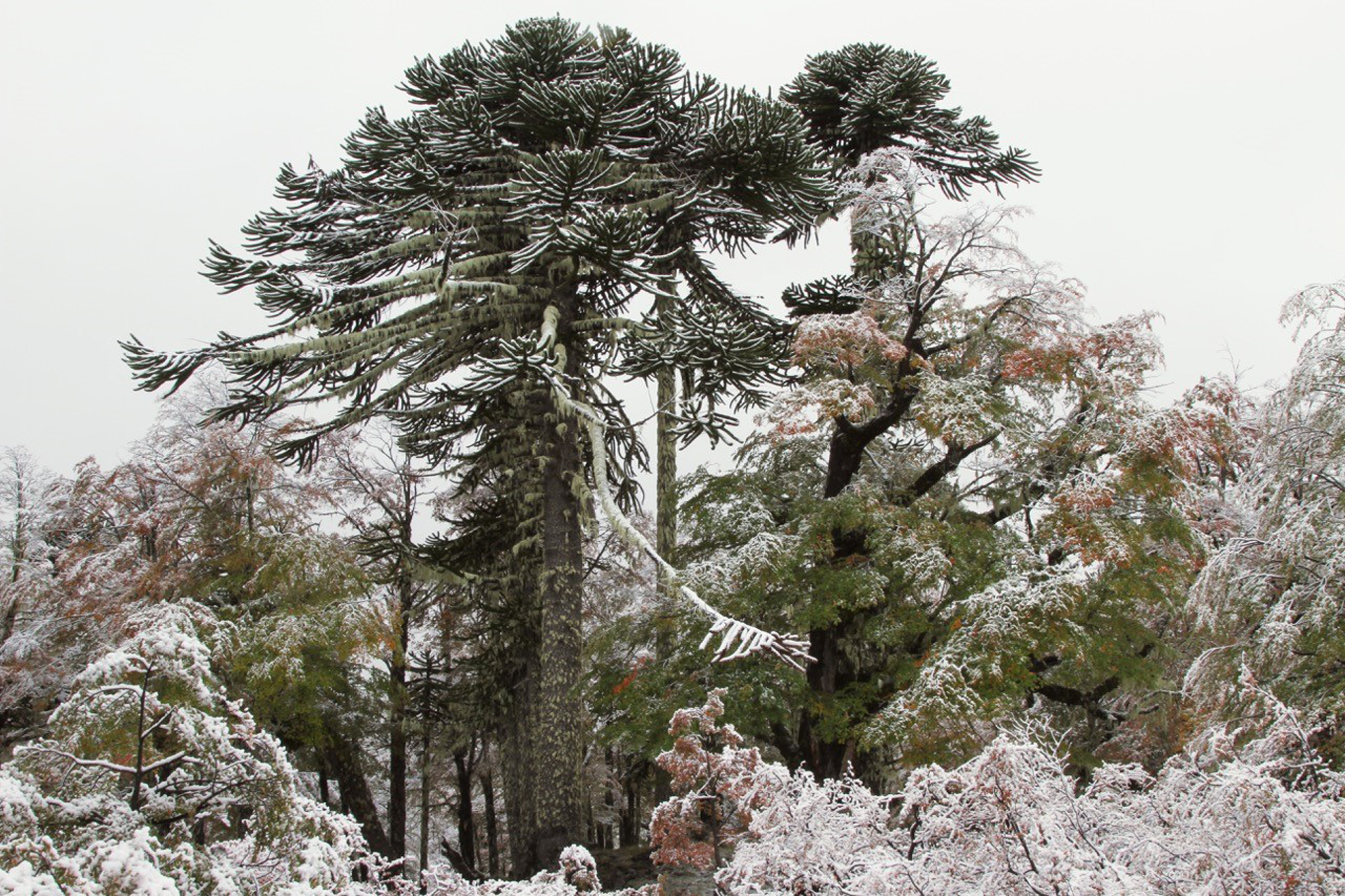 Fresh snow on araucaria trees (Araucaria araucana) in Autumn, Villarrica National Park, Chile.