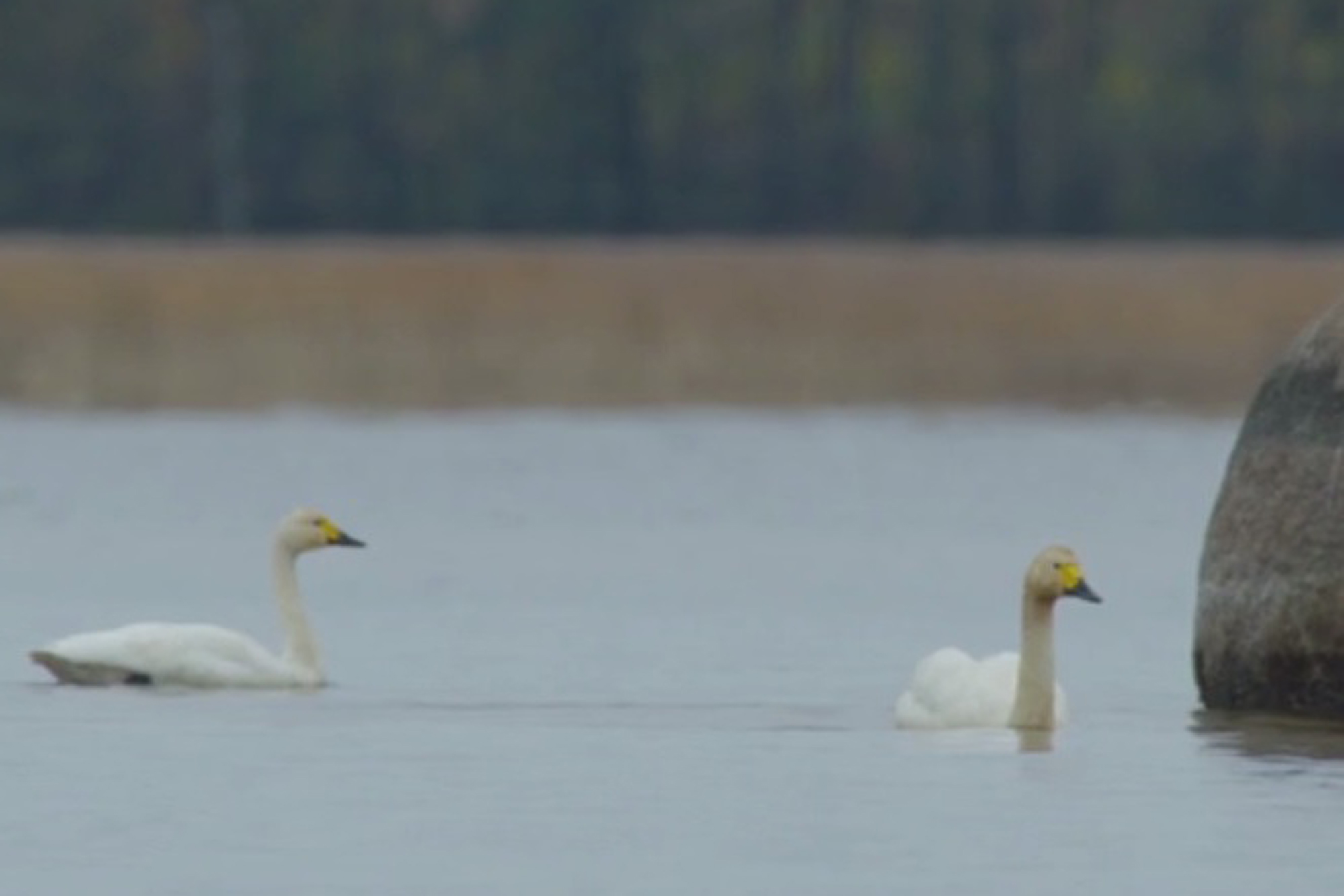 Two Bewick's swans on a lake, partway through their epic migration.