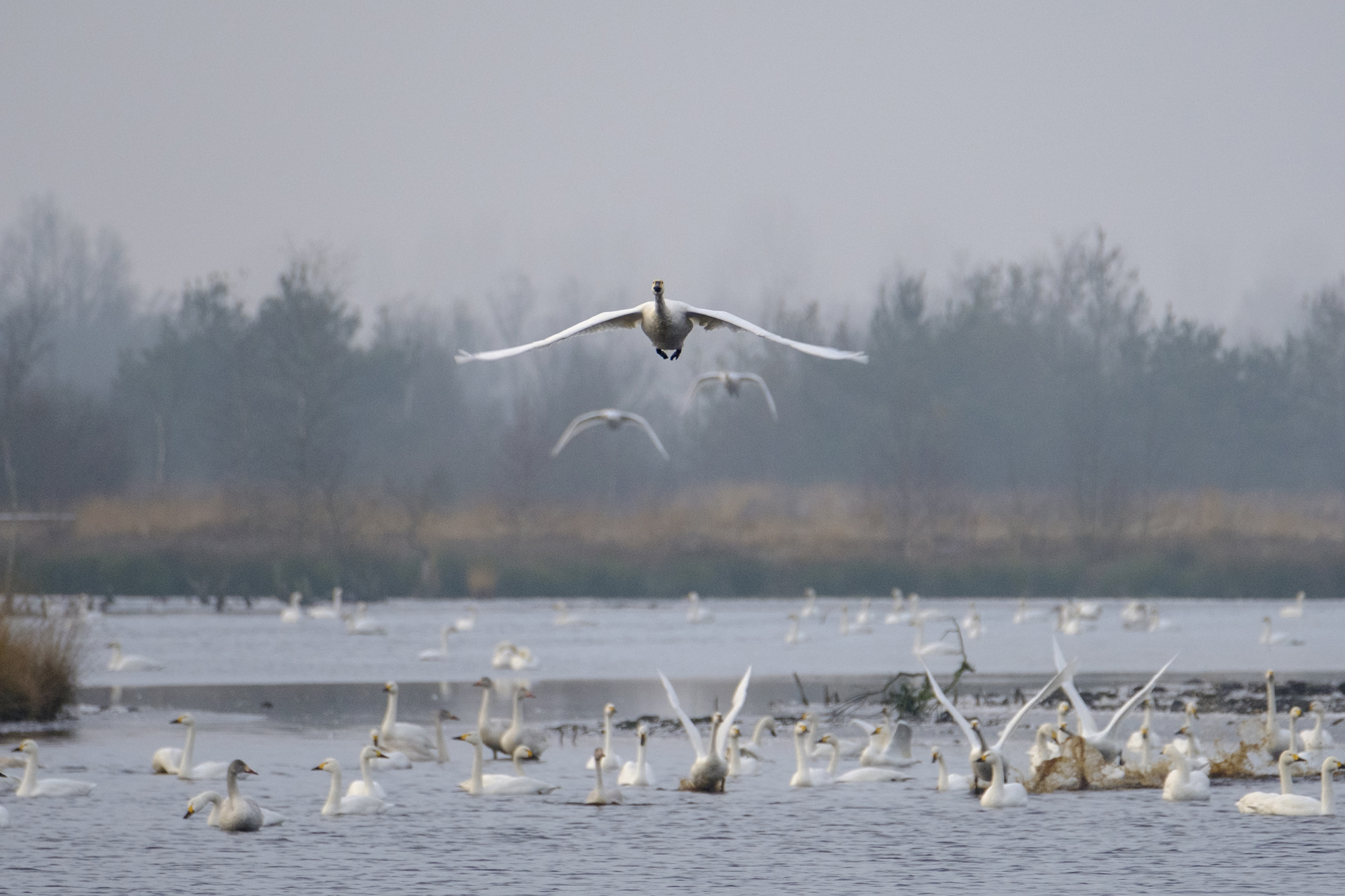Bewick's Swans arriving in the UK