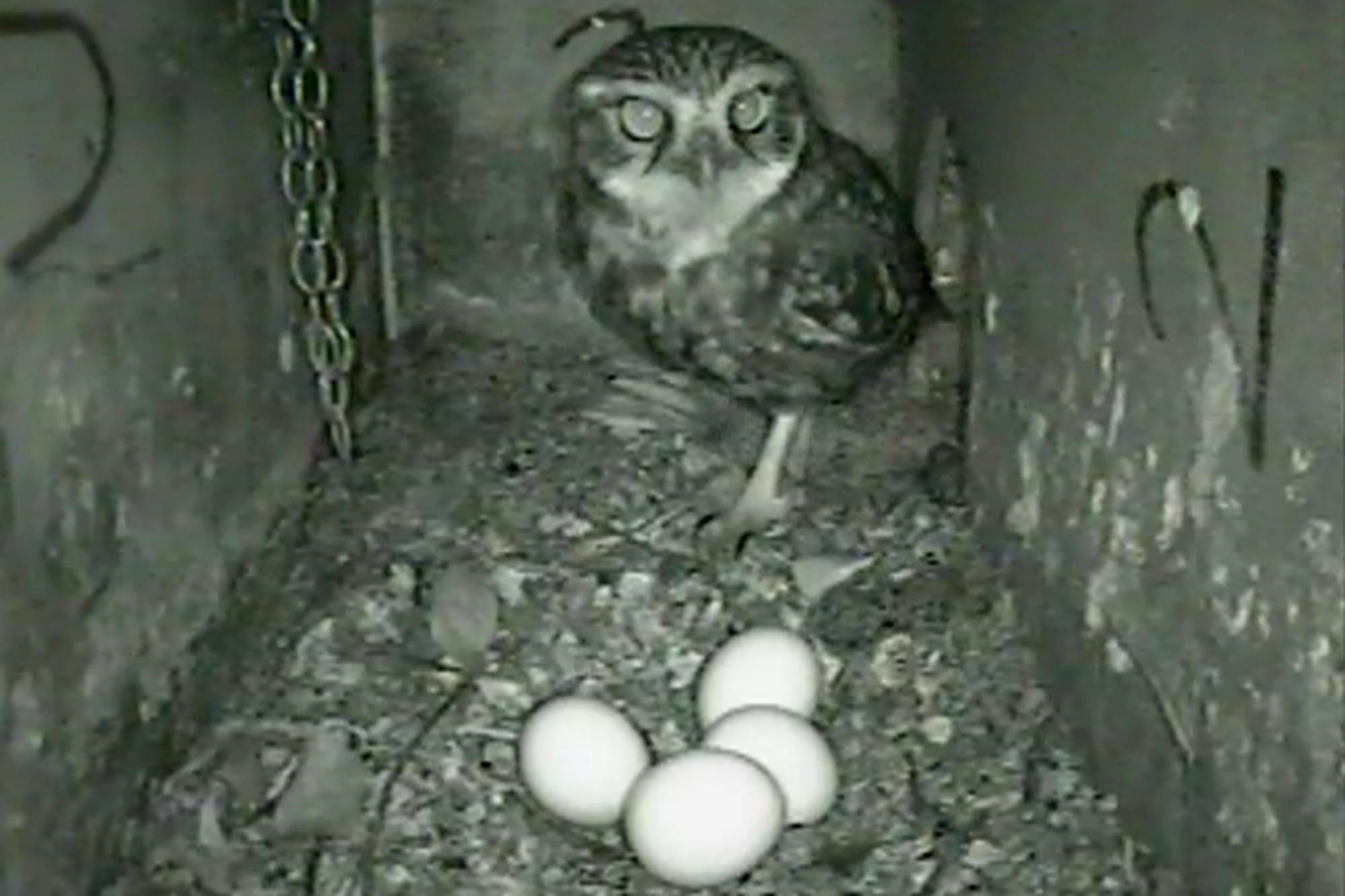 Female Little Owl with eggs inside a nest box