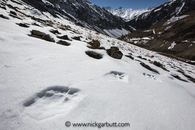 Snow leopard pug marks (footprints)